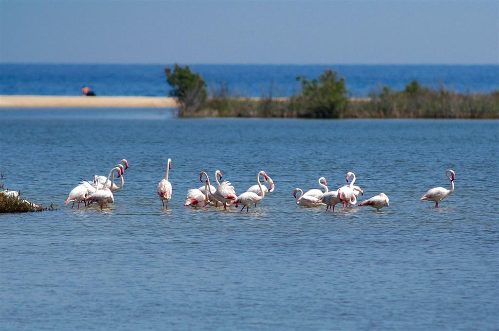 Plameňáci v laguně Chia, Sardinie
